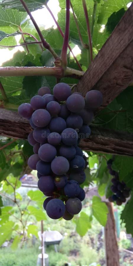 Manojo de uvas de maduraci?n fotografía de archivo libre de regalías