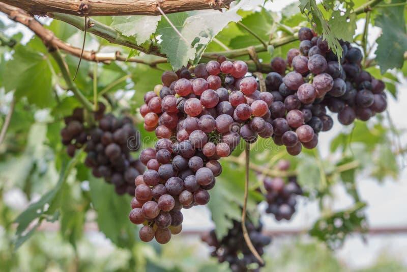 Manojo de uvas rojas en el viñedo foto de archivo libre de regalías