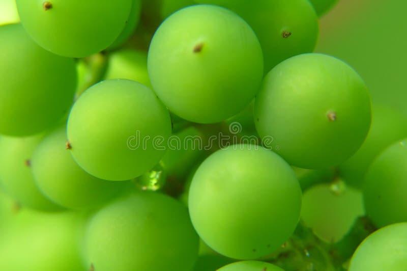 Manojo de uvas verdes imagen de archivo libre de regalías