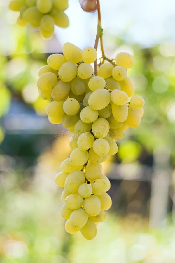 Manojo de uvas verdes fotografía de archivo libre de regalías