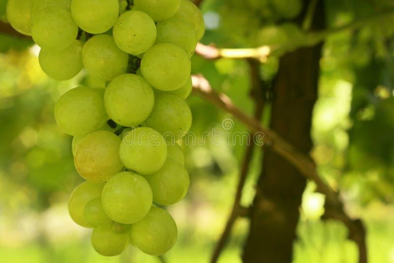 Manojo de uvas verdes con las hojas que cuelgan en el viñedo imagenes de archivo