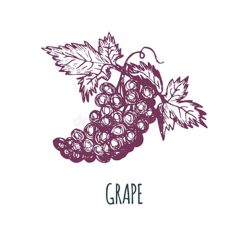Manojo dibujado mano de la uva en el fondo blanco Ejemplo del vector de la fruta Bosquejo vegetariano de la comida Producto del m libre illustration