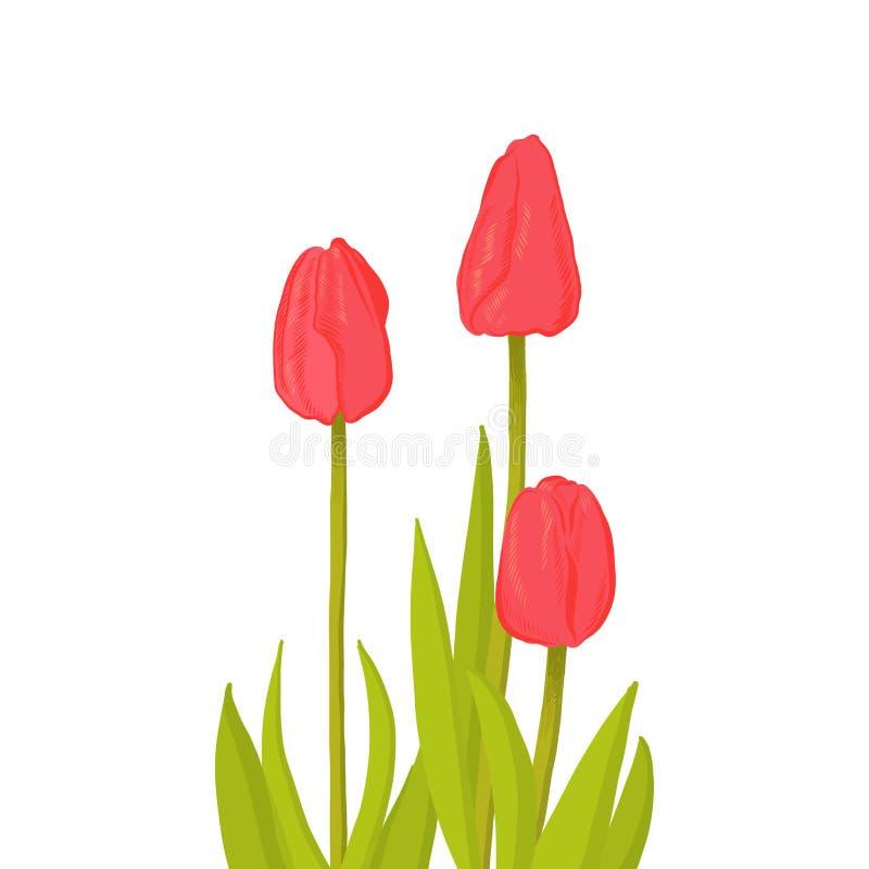Manojo exhausto de la mano de flor roja del tulipán de la vista lateral tres, ejemplo del vector del estilo del bosquejo aislado  ilustración del vector
