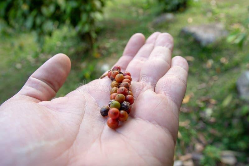 Manojo fresco de fruta del grano de pimienta fotografía de archivo libre de regalías