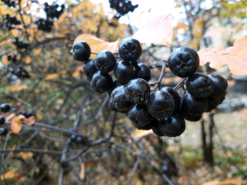 Manojo fresco maduro del chokeberry que crece en el árbol del otoño imagen de archivo libre de regalías