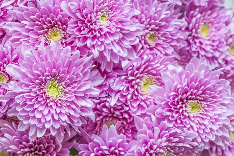 Manojo hermoso de chrysants rosados fotografía de archivo libre de regalías