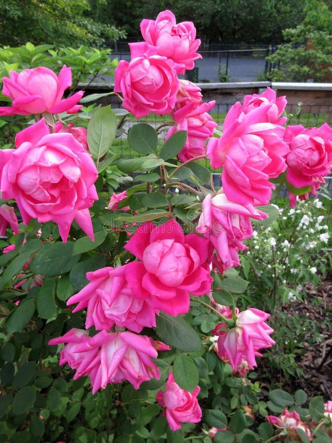 Manojo hermoso de rosas rosadas imagenes de archivo