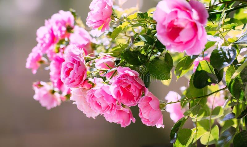 Manojo rosado hermoso de las rosas en la luz del sol Tarjeta del amor, aniversario, celebración, diseño fotos de archivo
