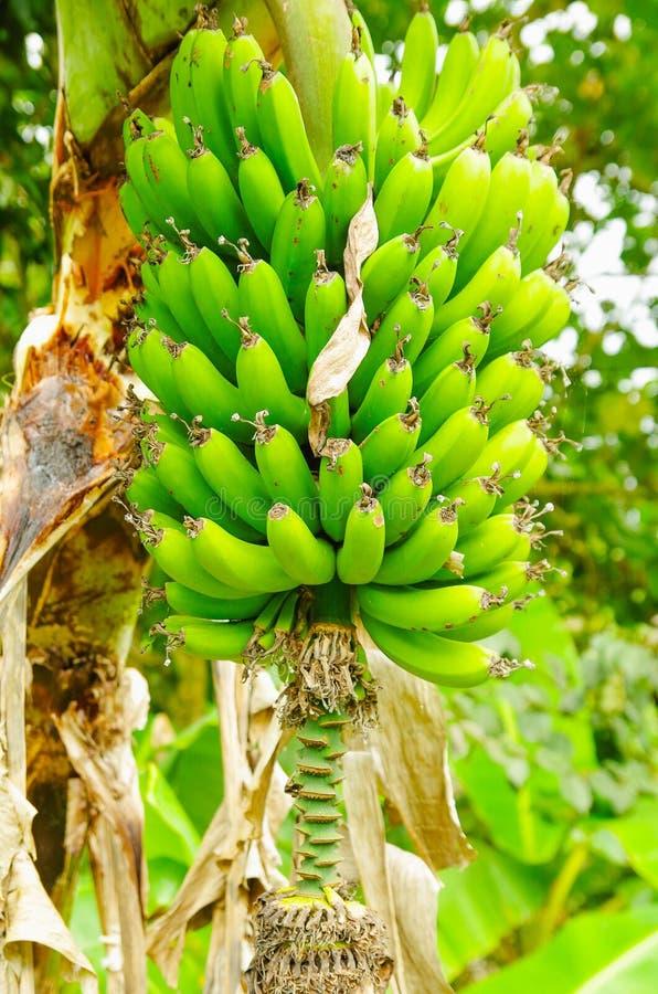 Manojo verde de plátanos del llantén en el árbol El plátano del llantén es una fruta de la delicadeza común en la dieta latinoame foto de archivo libre de regalías