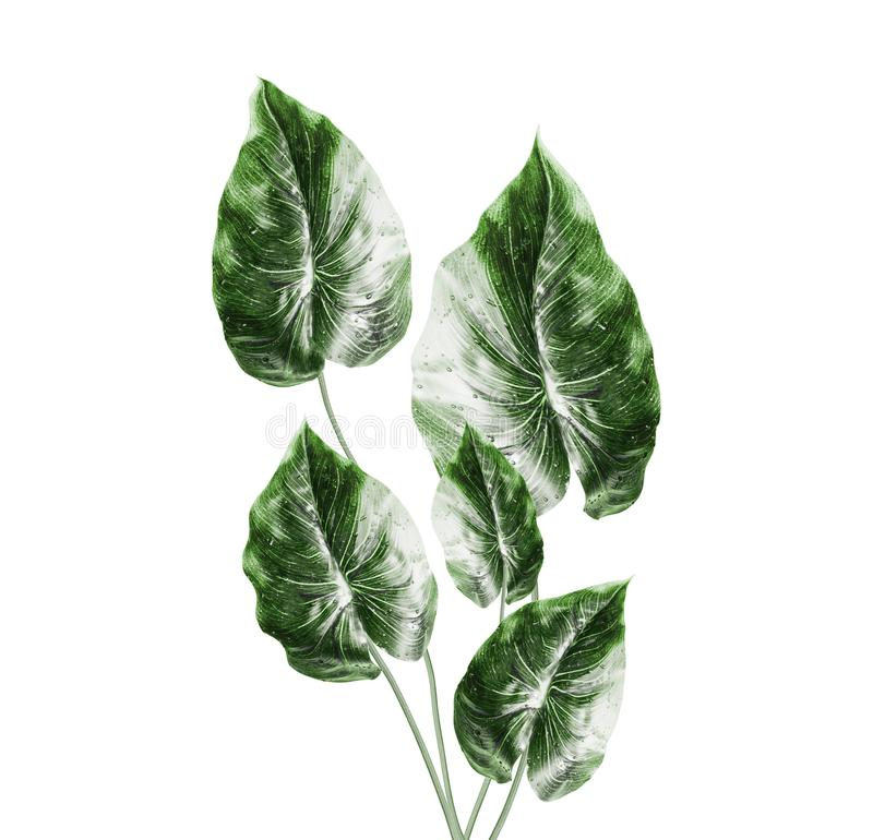 Manojo verde tropical de las hojas, aislado en el fondo blanco Hojas exóticas de la planta fotografía de archivo
