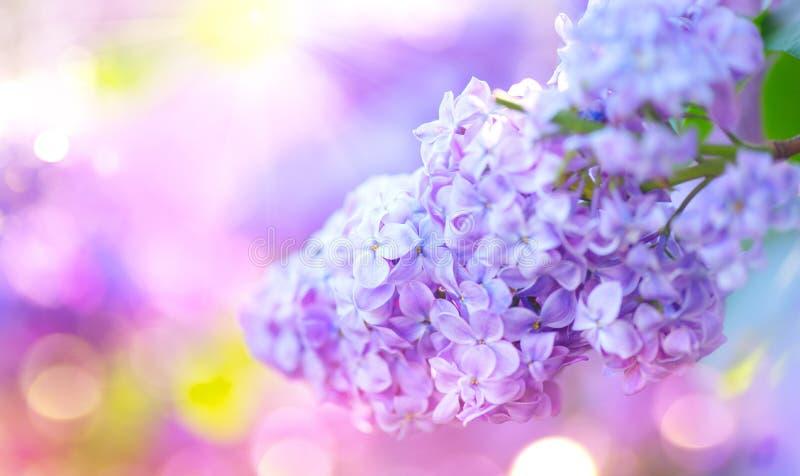 Manojo violeta de las flores de la primavera de la lila Flor violeta floreciente hermosa de la lila en un jardín imagen de archivo