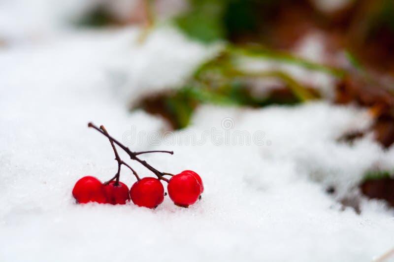 Manojos de bayas de serbal cubiertas en nieve fotos de archivo libres de regalías