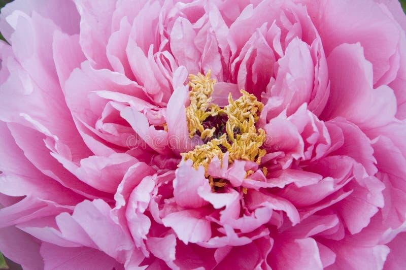 Manojos de la flor del Peony imagenes de archivo