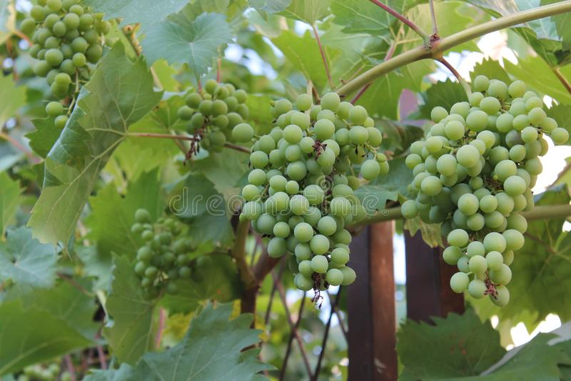 Manojos de uvas inmaduras verdes en la vid foto de archivo libre de regalías