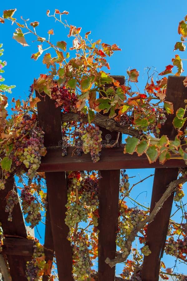 Manojos de uvas maduras foto de archivo libre de regalías