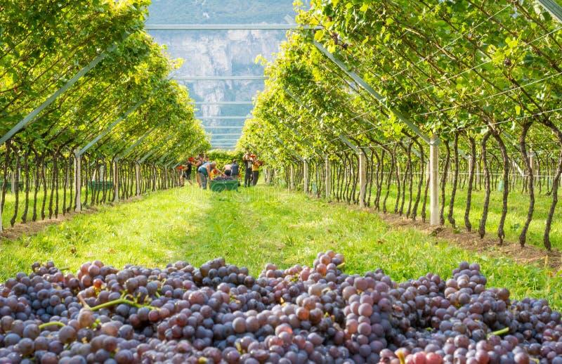 Manojos de variedad madura del grigio de Pinot de las uvas durante la cosecha en el viñedo del Tyrol del sur en Italia septentrio fotografía de archivo