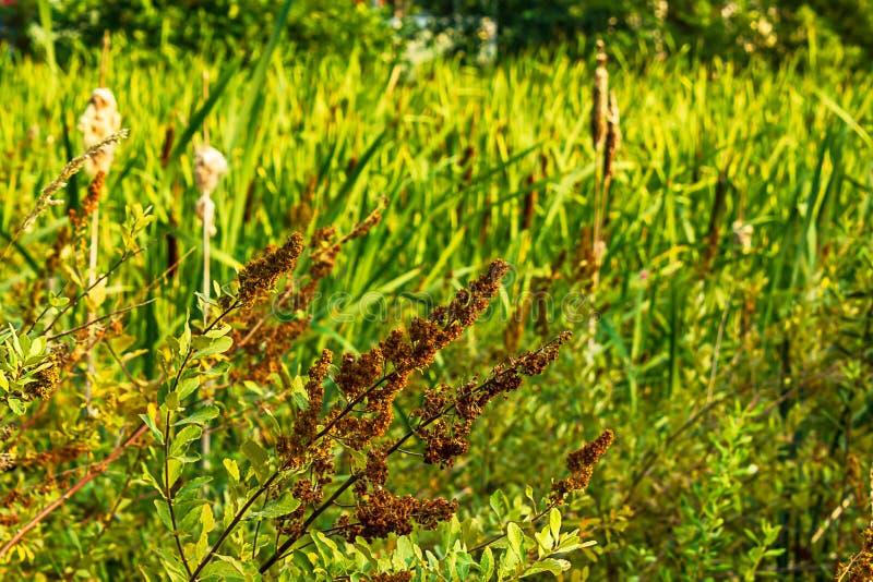manojos secados de floraciones en un arbusto de mariposa a finales del verano fotografía de archivo libre de regalías