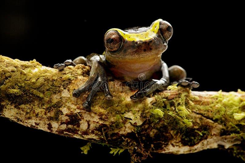 Manonegra curioso engraçado do dendropsophus da rã de árvore um treefrog pequeno foto de stock