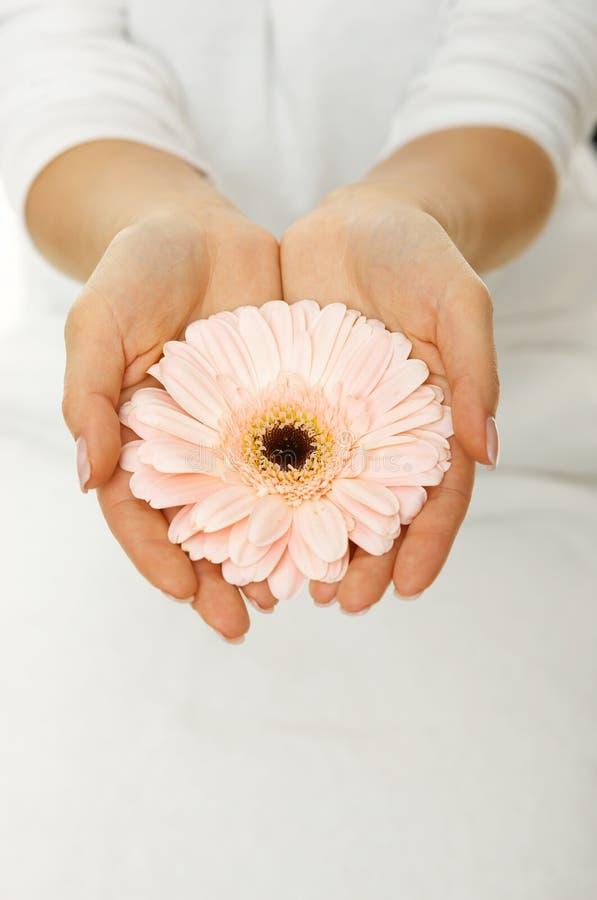 Manos con el gerbera rosado fotos de archivo libres de regalías