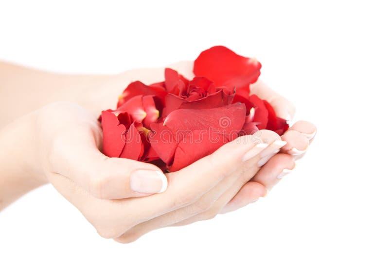 Manos con los pétalos de Rose rojos foto de archivo libre de regalías