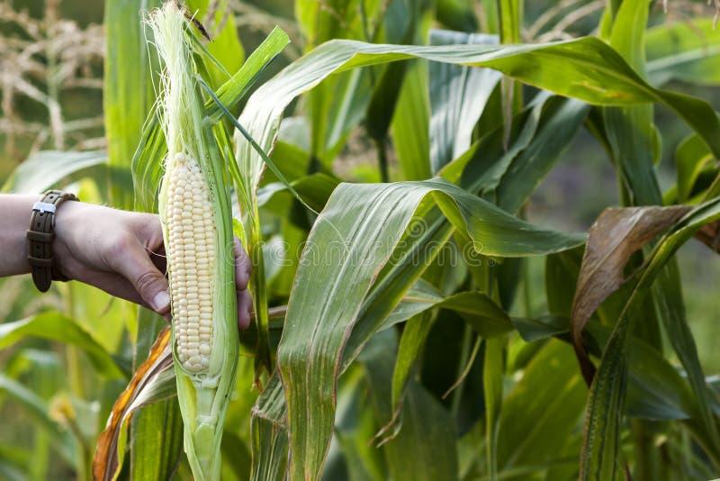 Manos de la mujer del granjero que sostienen maíz verde fresco en campo de maíz foto de archivo libre de regalías