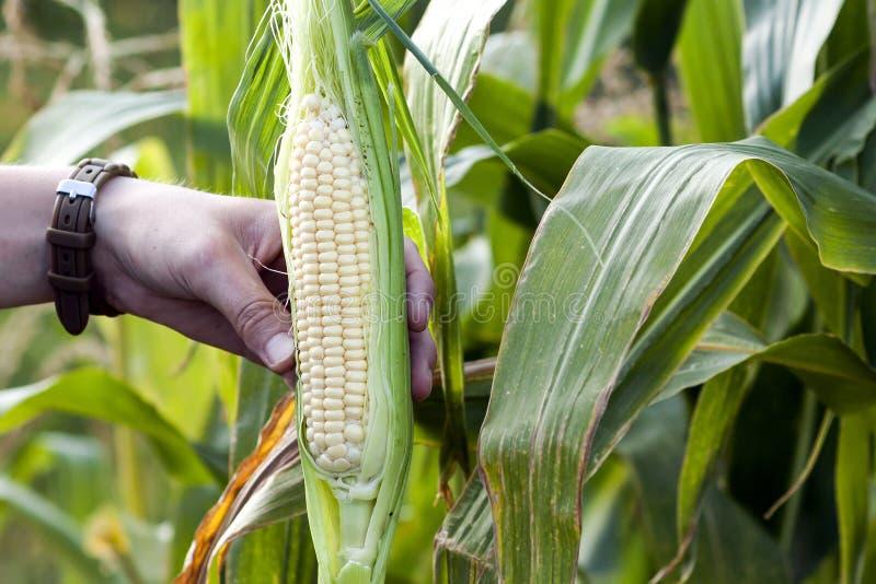 Manos de la mujer del granjero que sostienen maíz verde fresco en campo de maíz fotos de archivo