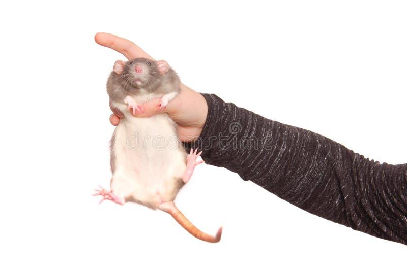 Manos de la mujer joven con la rata en el fondo blanco imágenes de archivo libres de regalías