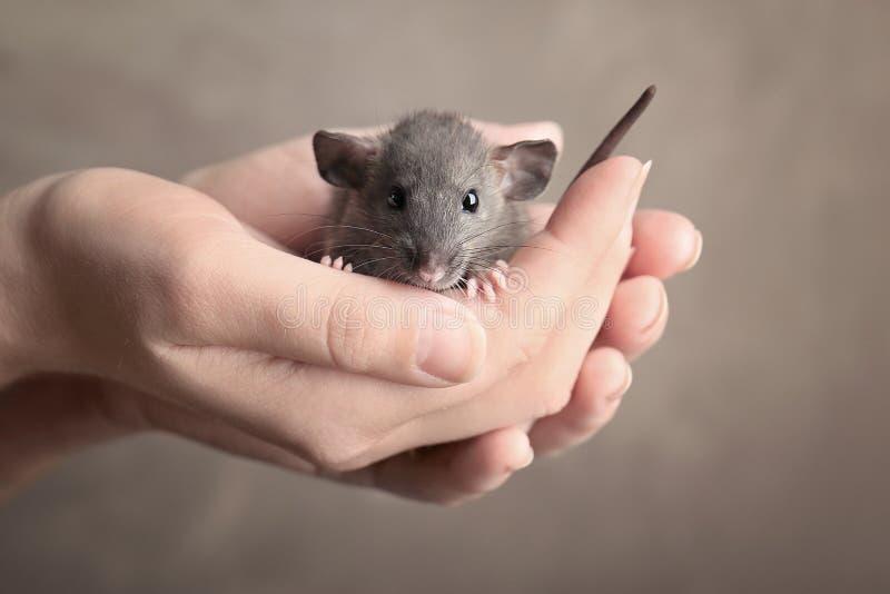 Manos de la mujer joven con la rata linda imagenes de archivo