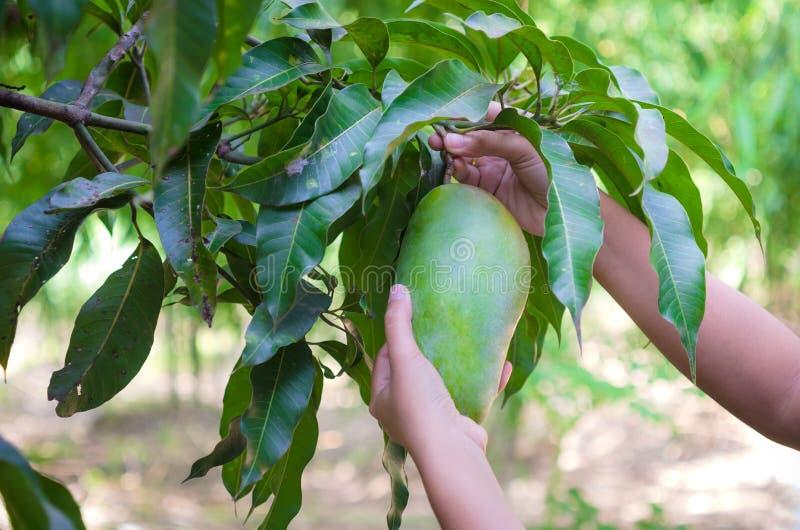 Manos de la mujer que cosechan el mango verde fresco en la fruta Gard de la naturaleza foto de archivo libre de regalías
