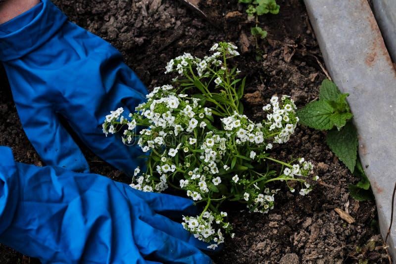 Manos de la mujer que plantan una planta de las flores blancas en el jard?n Trabajo que cultiva un huerto en tiempo de primavera fotos de archivo