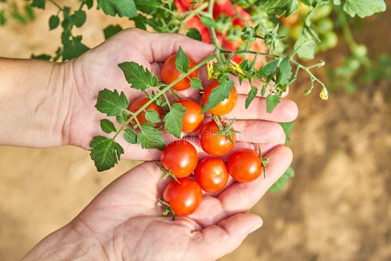 Manos de las hembras que cosechan los tomates frescos en el jardín en un día soleado Granjero que escoge los tomates orgánicos Co fotos de archivo libres de regalías