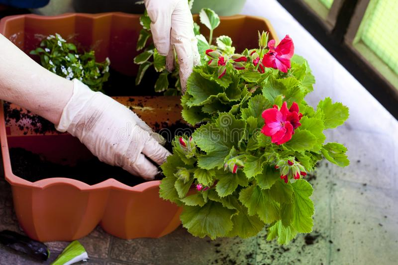 Manos de los jardineros que plantan las flores en el patio trasero fotografía de archivo