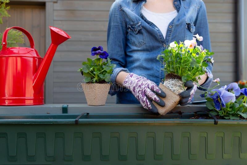 Manos de los jardineros que plantan las flores en pote con suciedad o el suelo en envase en jard?n del balc?n de la terraza Conce foto de archivo libre de regalías