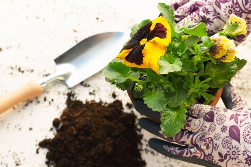 Manos de los jardineros que plantan las flores en pote con suciedad o suelo Concepto que cultiva un huerto imagenes de archivo
