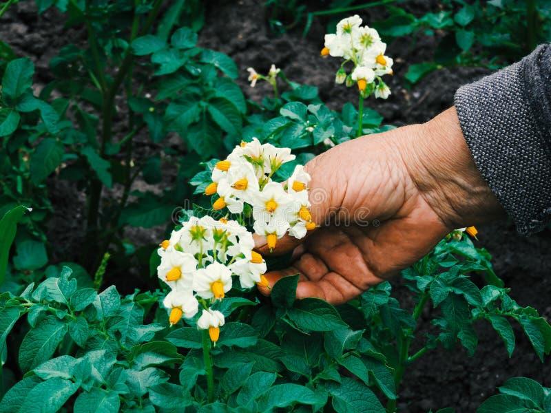 Manos de los jardineros que plantan las flores Mano que sostiene la pequeña flor en el jardín Flores de la patata de la tenencia  fotografía de archivo libre de regalías