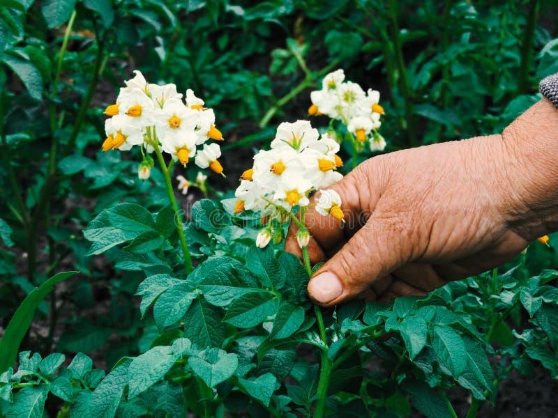 Manos de los jardineros que plantan las flores Mano que sostiene la pequeña flor en el jardín Flores de la patata de la tenencia  fotos de archivo libres de regalías
