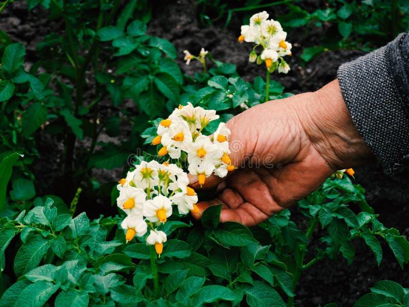 Manos de los jardineros que plantan las flores Mano que sostiene la pequeña flor en el jardín Flores de la patata de la tenencia  fotografía de archivo