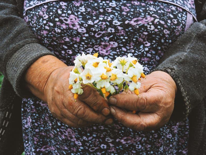 Manos de los jardineros que plantan las flores Mano que sostiene la pequeña flor en el jardín Flores de la patata de la tenencia  imagenes de archivo
