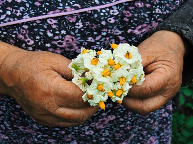Manos de los jardineros que plantan las flores Mano que sostiene la pequeña flor en el jardín Flores de la patata de la tenencia  imagen de archivo libre de regalías