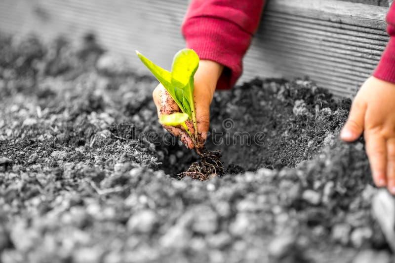 Manos de un niño que planta una pequeña planta fotografía de archivo libre de regalías