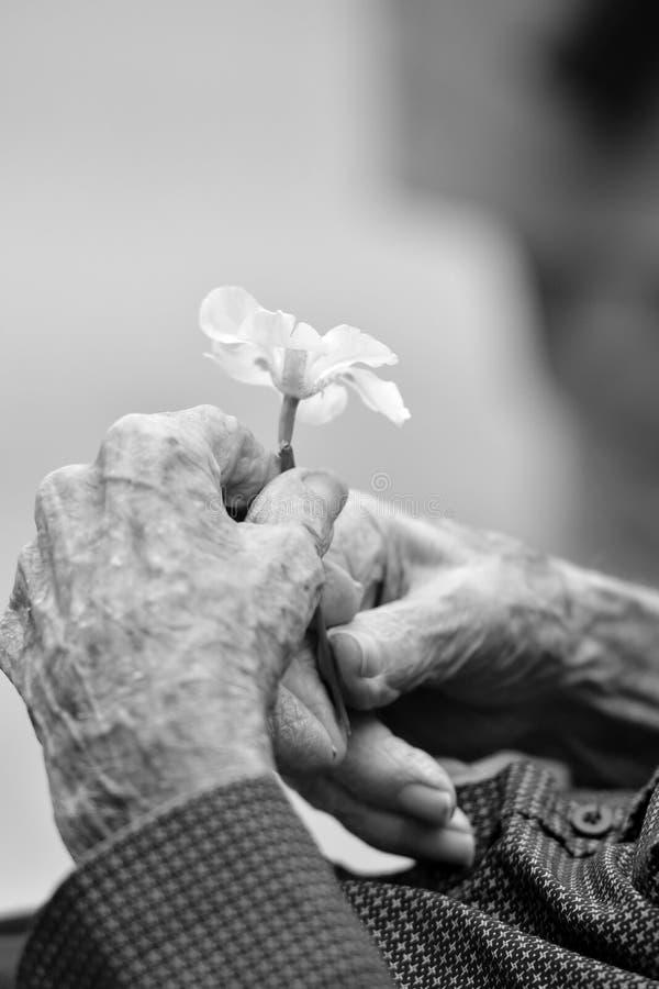 Manos de un viejo caballero que sostiene una flor imágenes de archivo libres de regalías