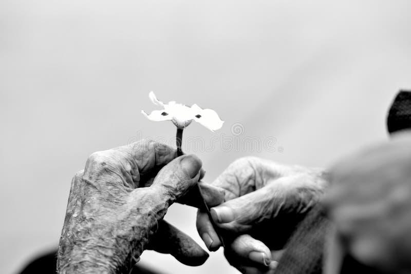 Manos de un viejo caballero que sostiene una flor foto de archivo libre de regalías