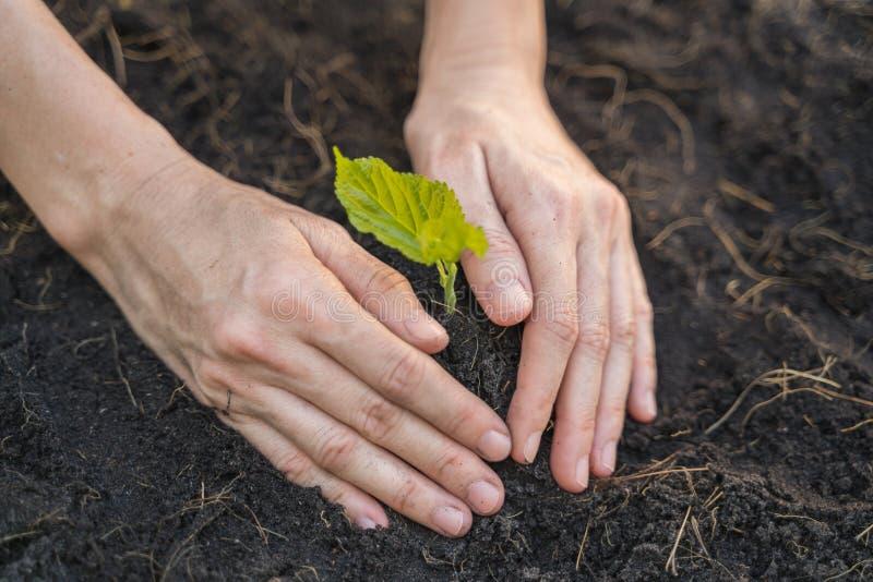 Manos del granjero que crecen una planta del árbol joven con el suelo fotos de archivo