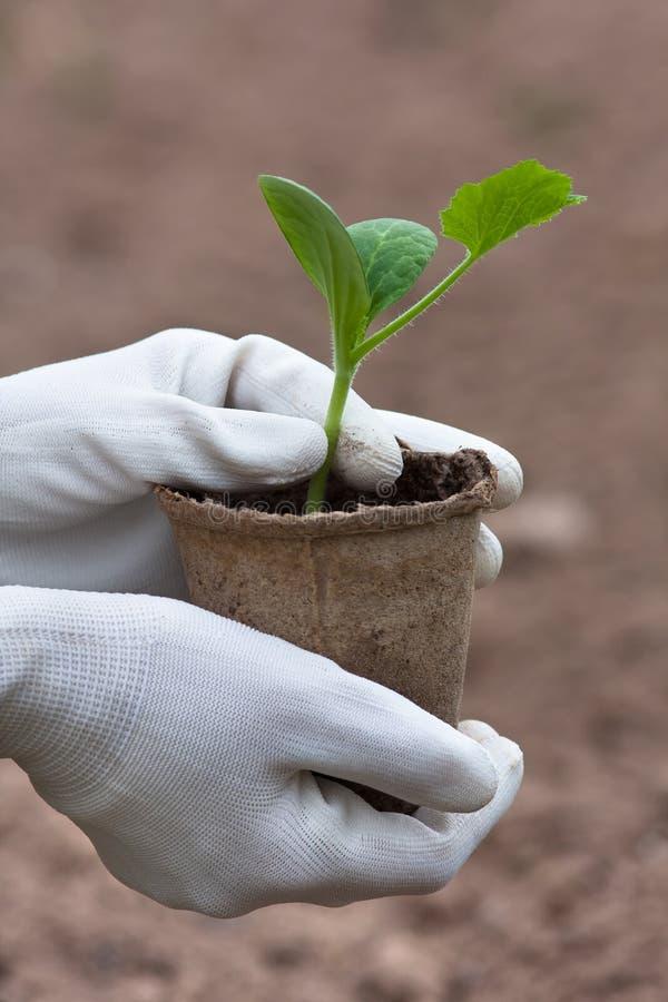 Manos del jardinero en los guantes que sostienen almácigos del pepino imágenes de archivo libres de regalías