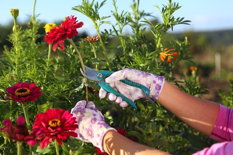 Manos del jardinero que cortan zinnias rojos fotos de archivo