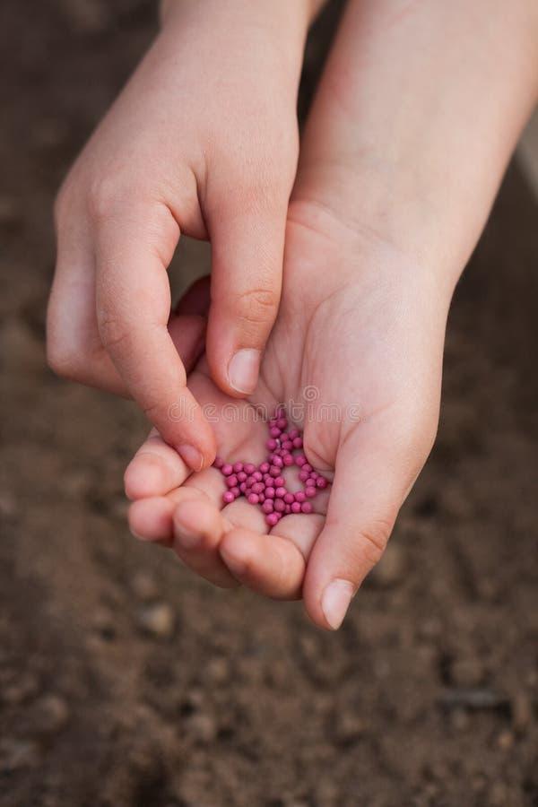 Manos del niño con el rábano de las semillas en jardín de la primavera fotos de archivo