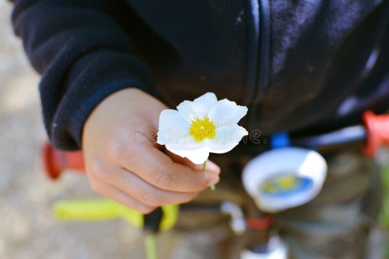 MANOS DEL PEQUEÑO NIÑO QUE SOSTIENEN UNA PEQUEÑA FLOR BLANCA Foco en la flor foto de archivo libre de regalías