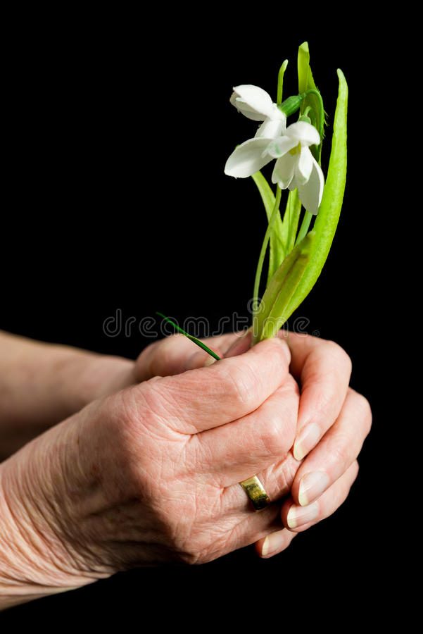 Manos del ` s de la señora mayor que llevan a cabo un snowdrop Concepto del envejecimiento foto de archivo
