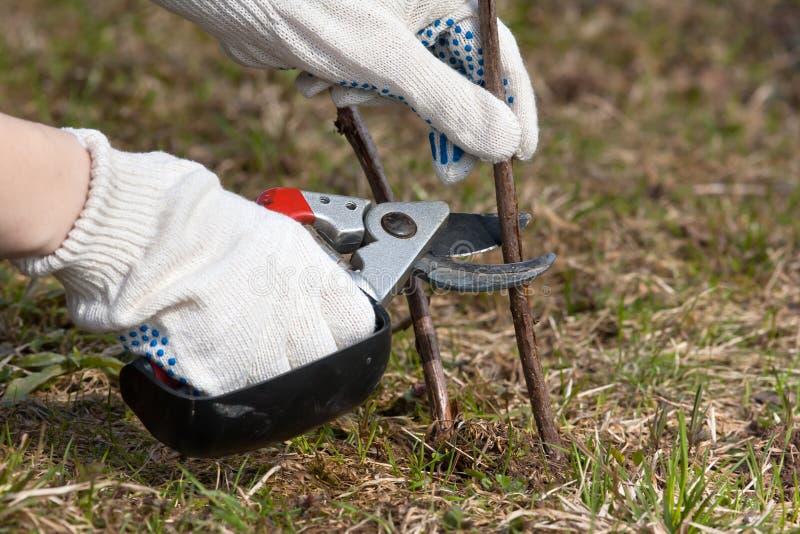 Manos en frambuesa de la poda de los guantes con el pruner del jardín fotos de archivo libres de regalías