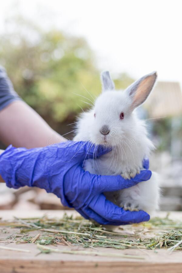 Manos en guantes sostienen un pequeño conejo blanco Concepto de investigación biológica fotos de archivo